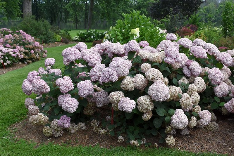 Hydrangea-arborescens-Incrediball-Blush-3