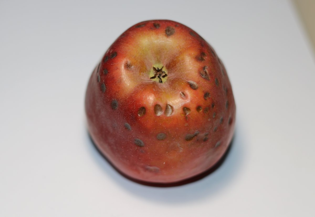 Горькая ямчатость яблок, заложенных на хранение