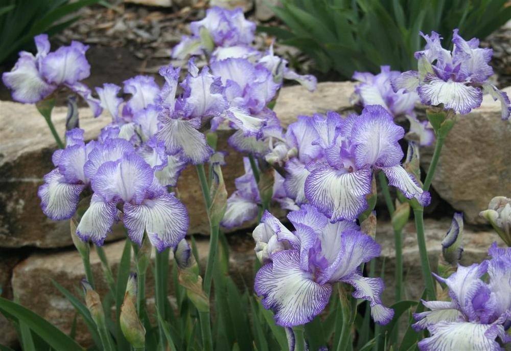 Iris-germanica-Autumn-Circus-2