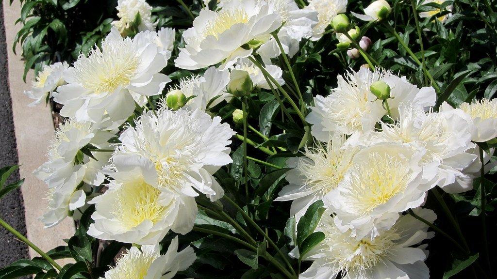 Paeonia-lactiflora-Brides-Dream-2