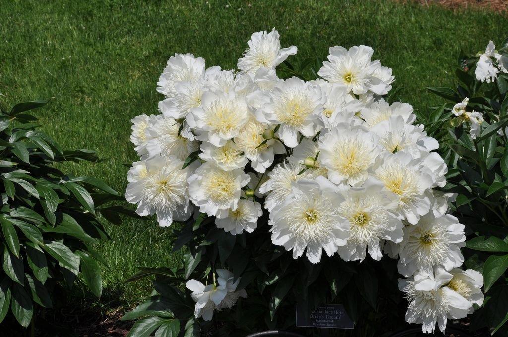 Paeonia-lactiflora-Brides-Dream-3