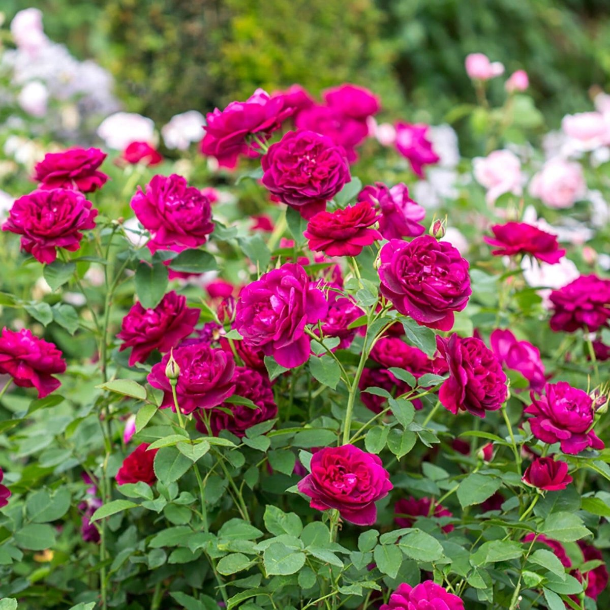 Rosa-Darcey-Bussell-1