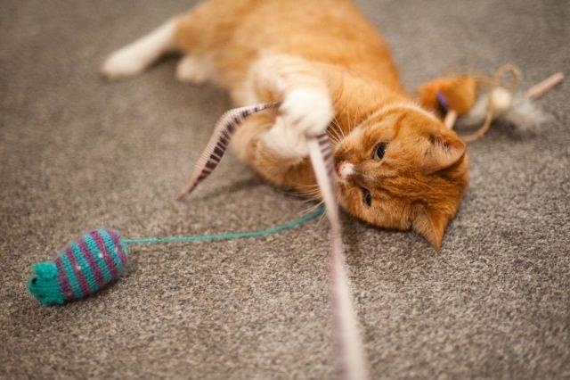 Просто необходимо для нормального психического здоровья кошки иногда играть с ней