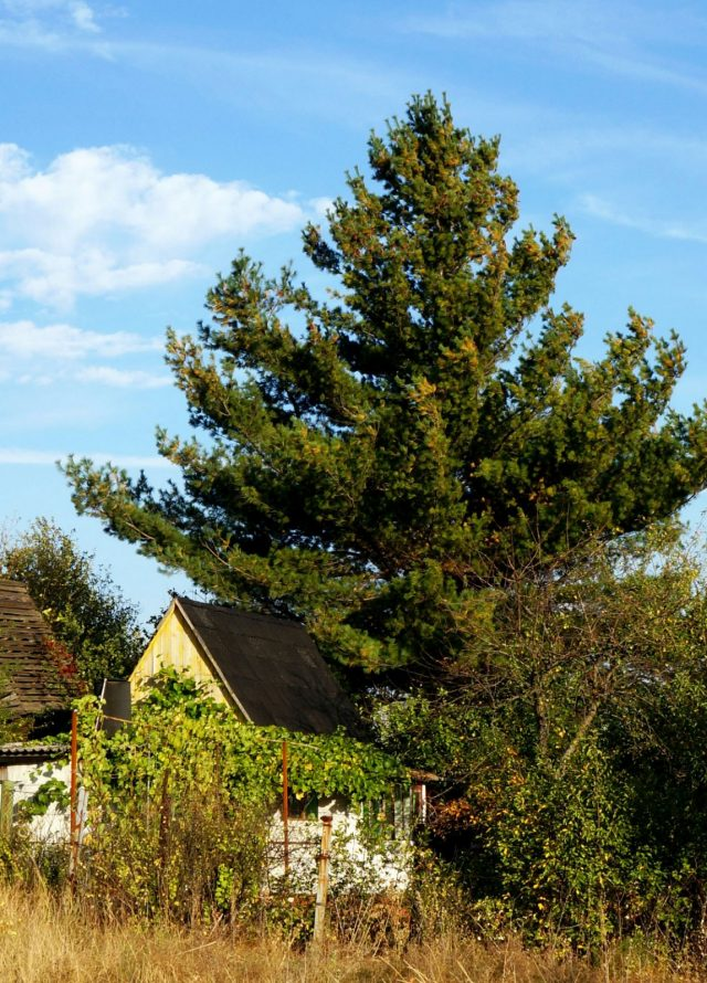 Без обрезки со временем маленькая сосенка возле дачного дома стала огромной сосной над маленьким домиком