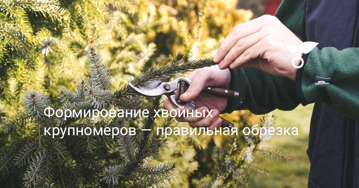 Цели и способы обрезки ели и сосны