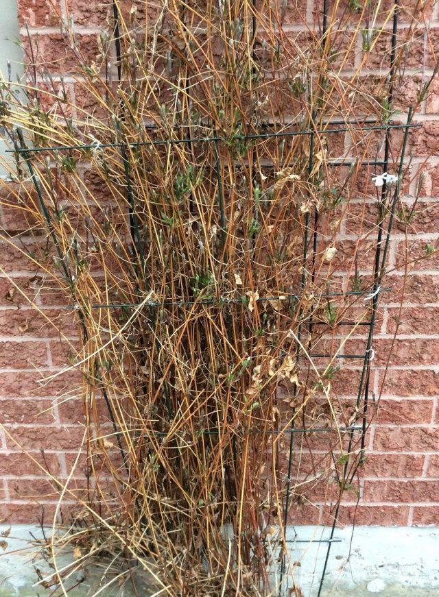 Кустарники и лианы на зиму не обрезают, если они зацветают только на побегах прошлого года, например, многие сорта клематисов