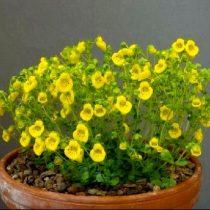 Кальцеолярия нежная (Calceolaria tenella)
