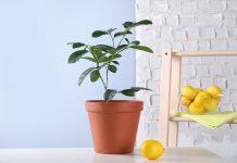 Почему не растёт лимон?