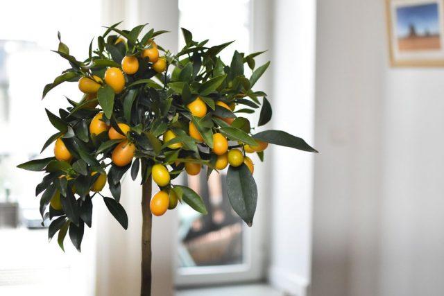 Весной и летом лимоны поливают обильно, но не чрезмерно – давая просыхать верхнему слою почвы