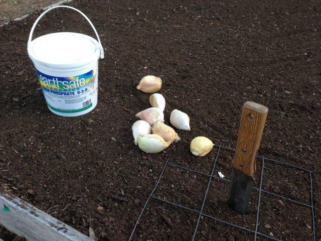 Грунт для посадки «рокамболя» должен быть плодородным, рыхлым, проработанным на глубину от 30 см