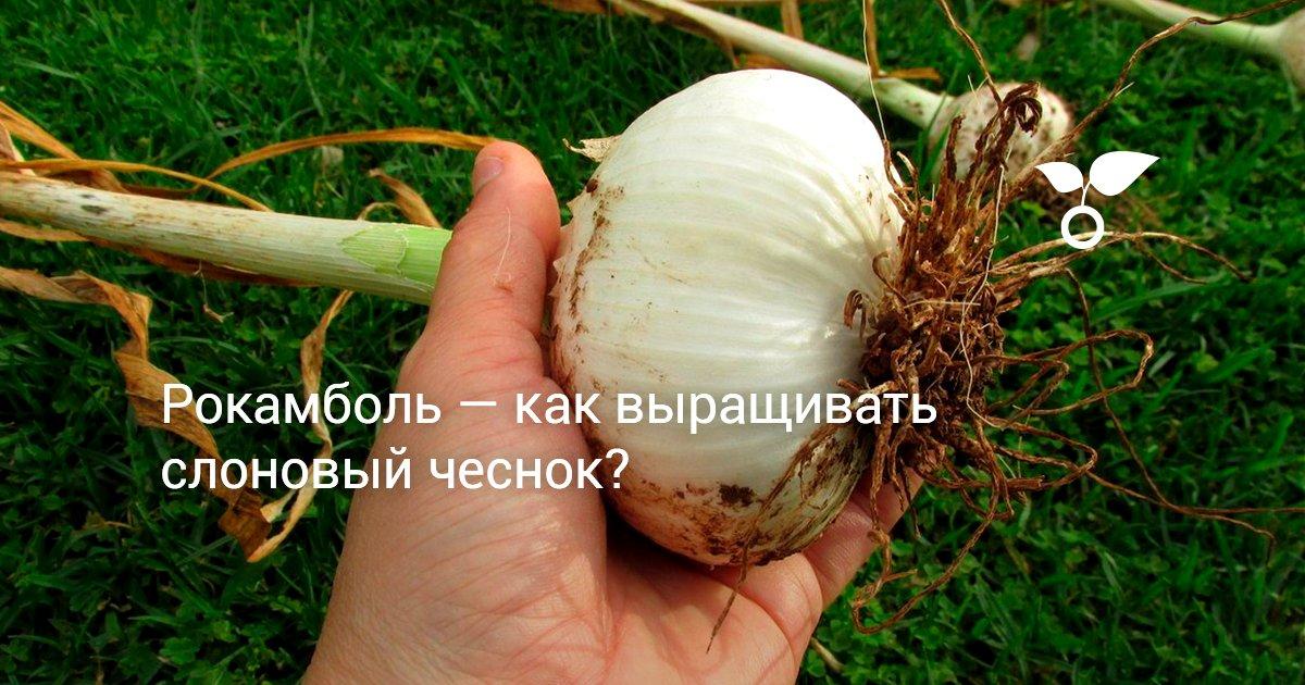 Чеснок Рокамболь: описание, выращивание, посадка и уход с фото