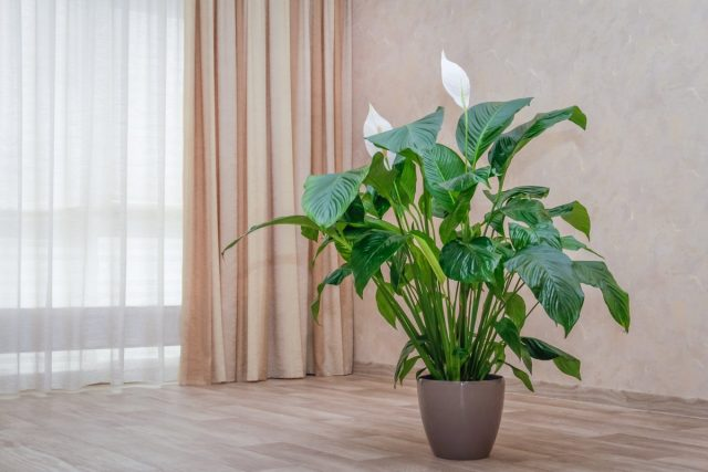 Почему сохнут листья у спатифиллума?
