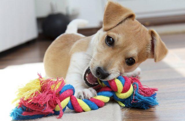 Игрушки очень нужны для щенка, если их нет, в качестве игрушек щенок будет использовать хозяйские вещи