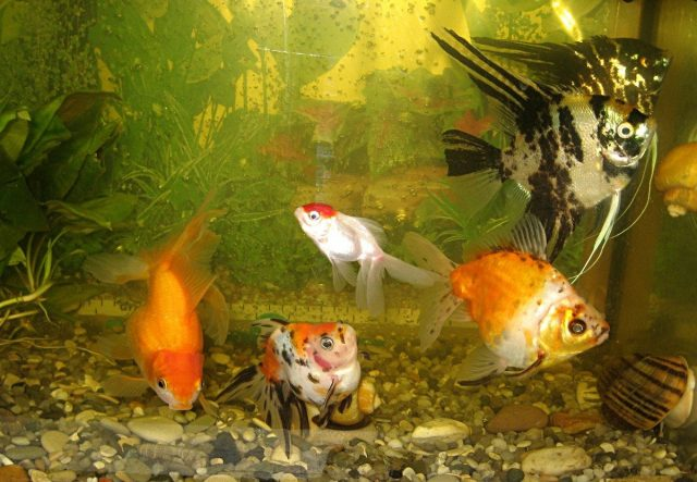 Поселять скалярий вместе с золотыми рыбками было большой ошибкой