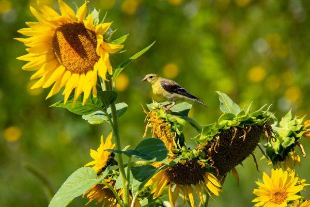 Птицы — это главные вредители при выращивании подсолнечника
