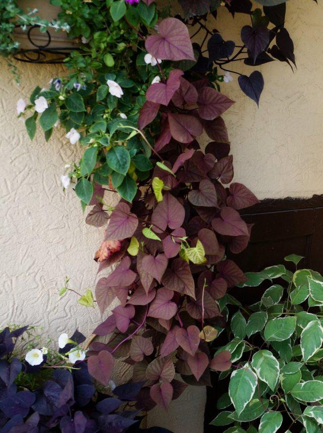 Батат декоративный, или Ипомея батат (Ipomoea batatas)
