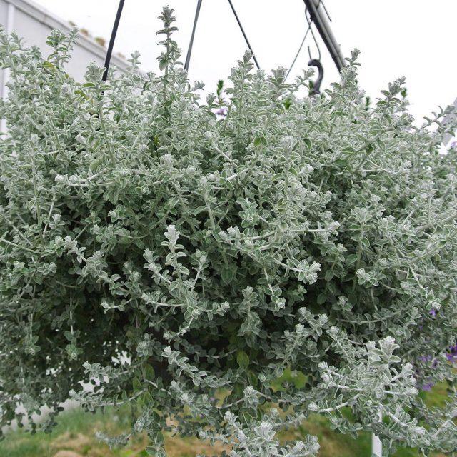 Гибрид гелихризума черешкового (Helichrysum petiolare) Silver Mist