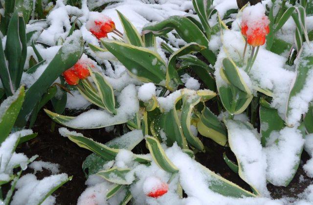 Когда цветут тюльпаны, в Хабаровском крае часто бывают и заморозки, и снег