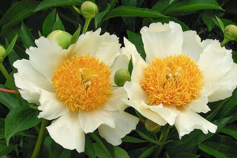 Paeonia-lactiflora-Claire-de-Lune-1