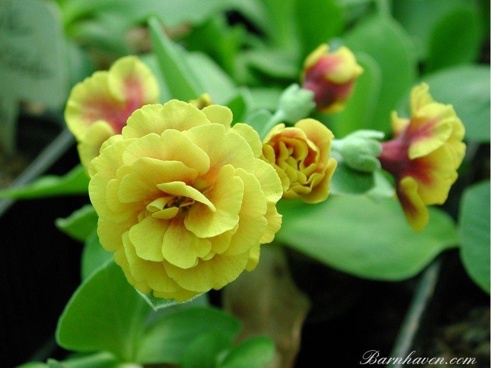 Primula-auricula-Golden-Hind-1