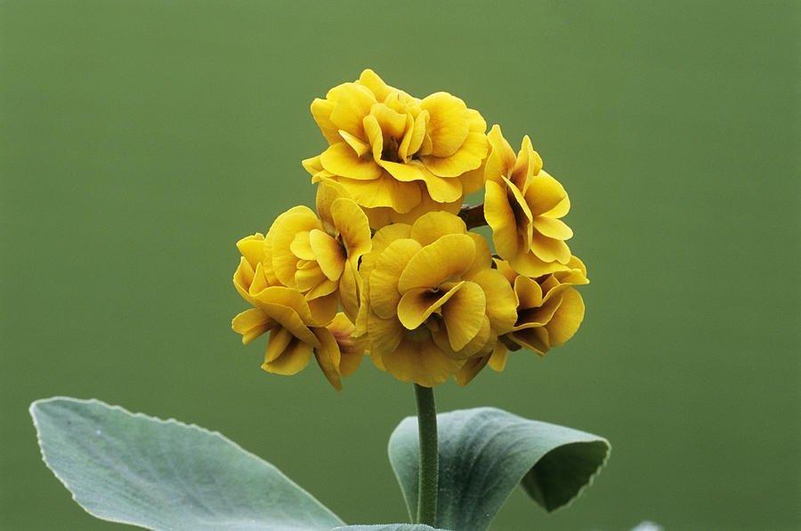 Primula-auricula-Golden-Hind-3