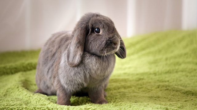 Живут домашние кролики около 12 лет
