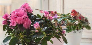 Какие комнатные растения не цветут без холодной зимовки?