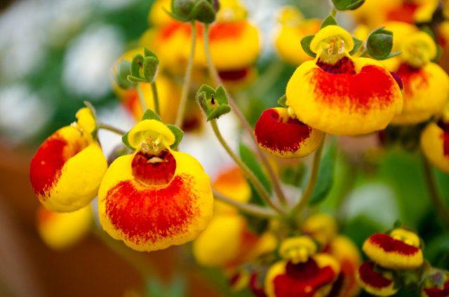 Кальцеолярия (Calceolaria)