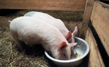Как приготовить питательный и полезный корм для свиней?