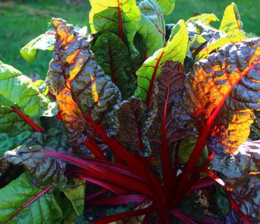 Мангольд — неприхотливый, полезный и урожайный