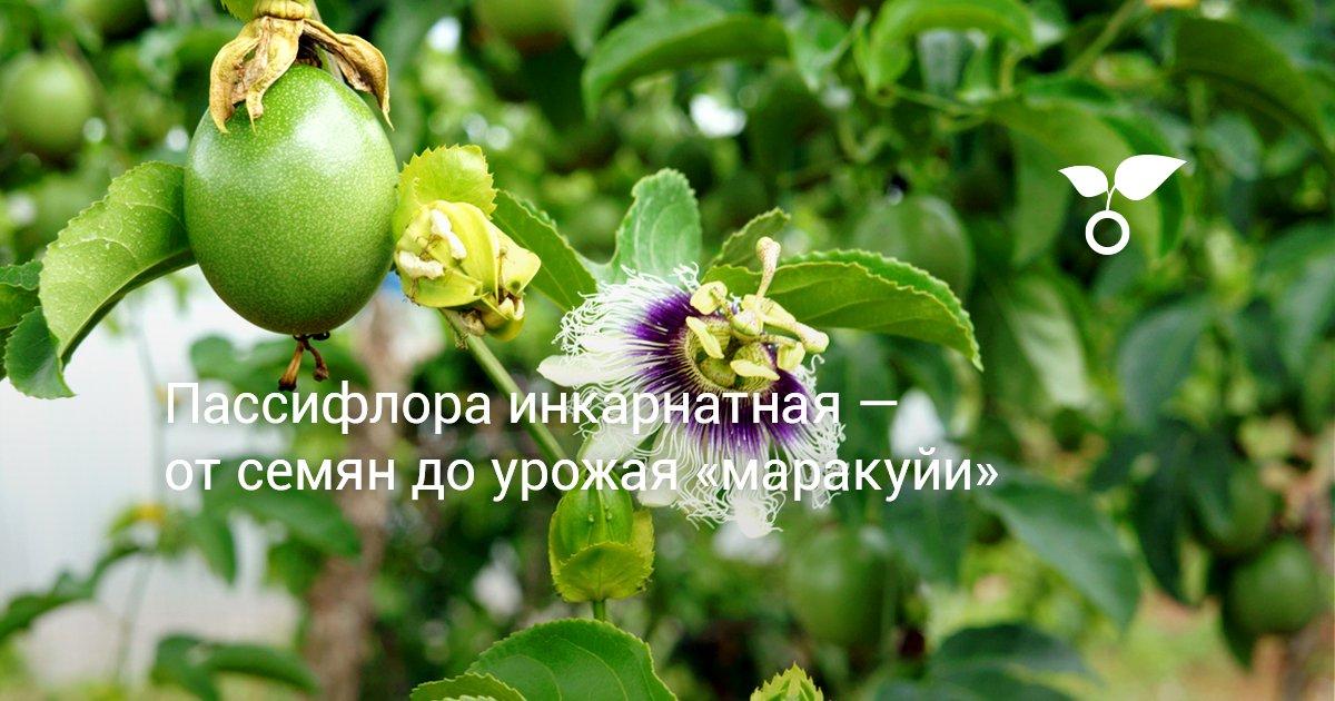 Посадка пассифлоры семенами