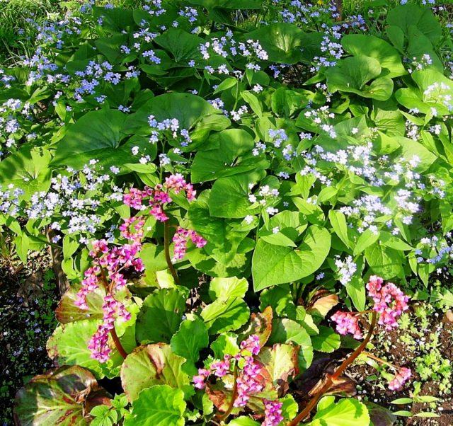 Бруннера (вверху) и бадан (внизу) в моем саду