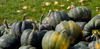 Тыква-желудь — полезный овощ без тыквенного запаха и вкуса