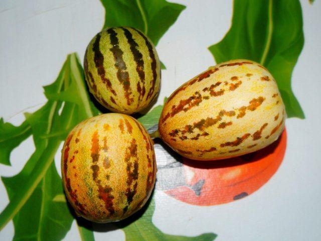 Плоды вьетнамской дыни сильно варьируют по размеру