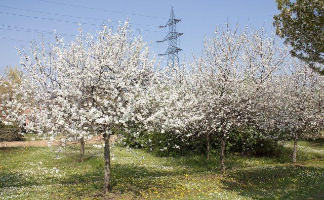 Вишня обыкновенная, или кислая (Prunus cerasus) исключительно культурное растение