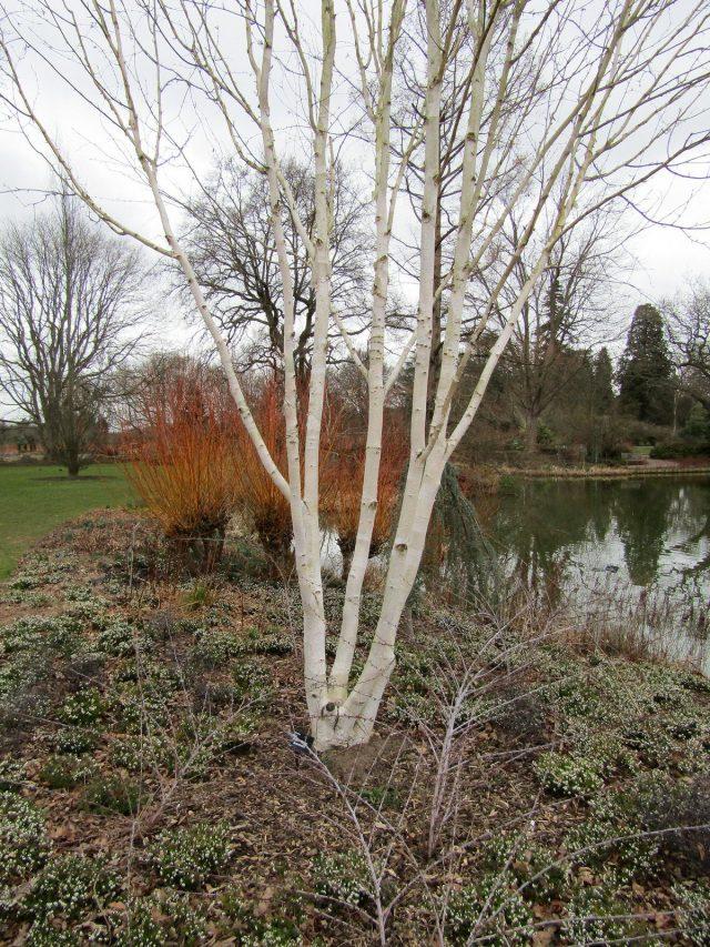 Береза Жакмана (Betula utilis var. jacquemontii)