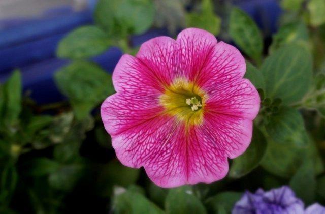 Петуния «Марвел» (Marvel Beauty Cranberry)