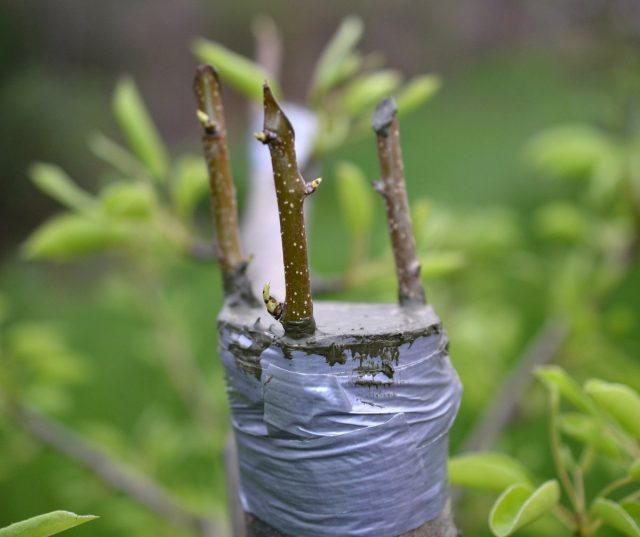 Если дерево чем-то не угодило, можно спилить его полностью ниже уровня веток и привить несколько черенков