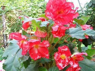 Бегония «Мраморная» (Begonia Marmorata)