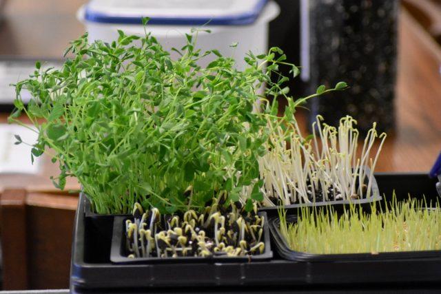 Если вы хотите пополнить ассортимент именно зелени, задумайтесь о выращивании микрозелени