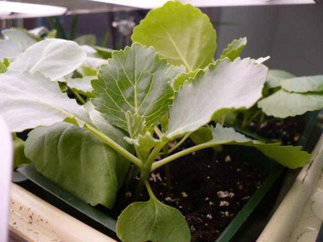 Апрель — месяц основного посева капусты