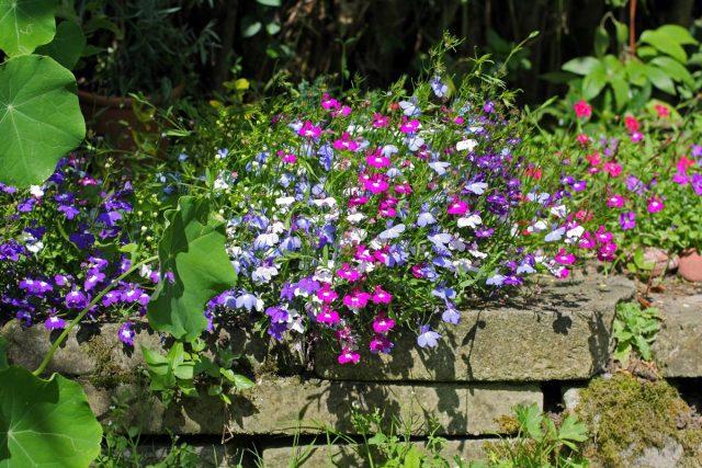 Севооборот для однолетних цветов