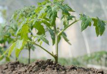 Комплексный уход за овощными культурами подразумевает не только выбор лучшего сорта, но и уход за почвой