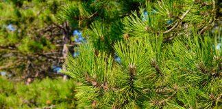 Сосна желтая, или Пондероза — доступная экзотика для средней полосы
