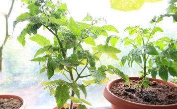 Выращивать томат в домашних условиях можно практически круглый год
