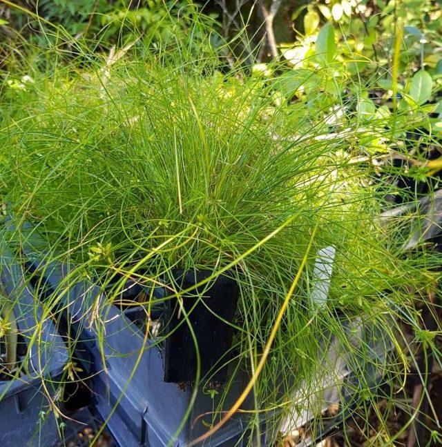 Циперус изящный (Cyperus gracilis)
