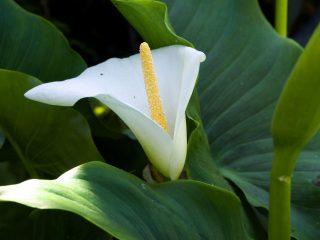 Зантедеския эфиопская (Zantedeschia aethiopica)