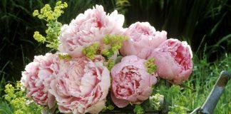 В настоящее время патио-пионы привлекают все больше и больше внимание садоводов-любителей