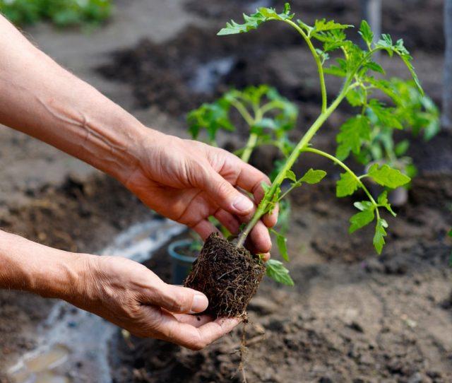 Препарат тормозящий рост рассады помидора