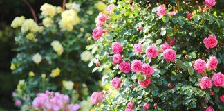 Каждая хозяйка стремится создать роскошный розарий своими руками на участке возле дома